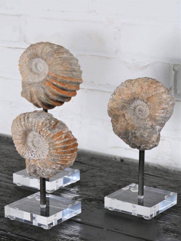 Ammonite Fossil on Acrylic Base